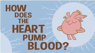 Tim bơm máu như thế nào?