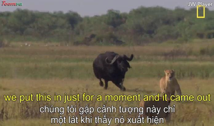 Trâu rừng, Sư tử bản năng sinh tồn